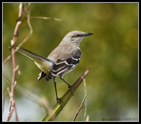 texas state bird mockingbird flickr photo sharing