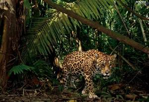 Jaguar Jungle Jungle Jaguar Beautiful Views Wallpapers 1600x1104