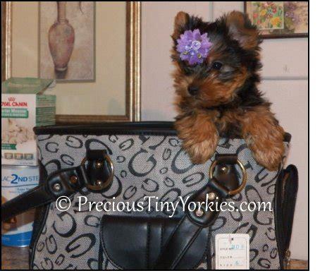 pocketbook yorkies tiny pocketbook yorkie puppies terrier pocket book puppy
