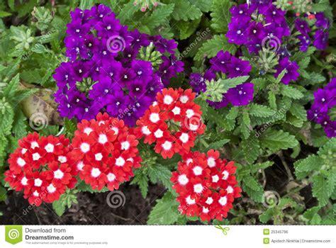 imagenes de flores verbenas flores vermelhas e roxas bonitas do verbena imagem de