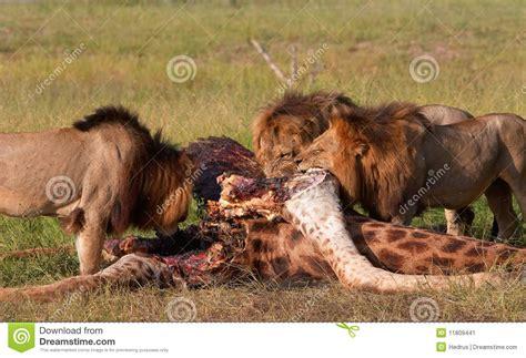 imagenes de leones cazando jirafas tres leones panthera leo que comen en sabana imagen de