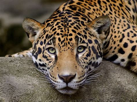 How Can A Jaguar Live A New Home For Leopards In Aravalli Rajasthan Tourism Beat