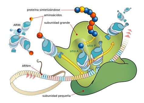 Where In A Eukaryotic Cell Does Translation Occur by Los Ribosomas