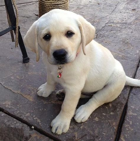 yellow lab puppies 1000 ideas about yellow lab puppies on lab puppies labrador puppies
