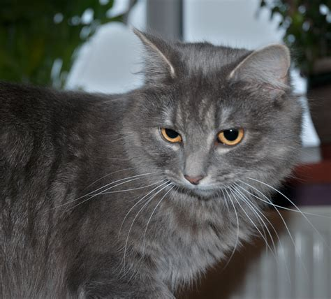 grey breeds 3 common haired grey cat breeds cbwp