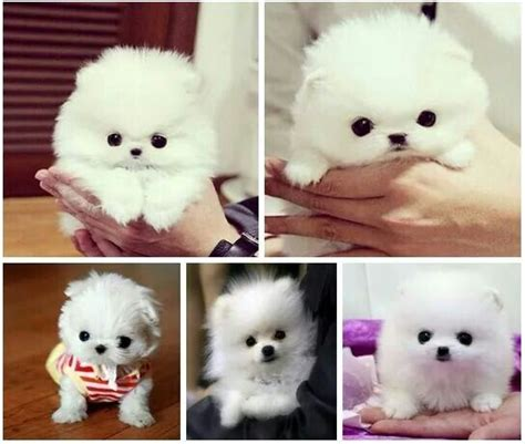 Do Teacup Pomeranian Shed by 17 Best Images About Pomeranian On Mini