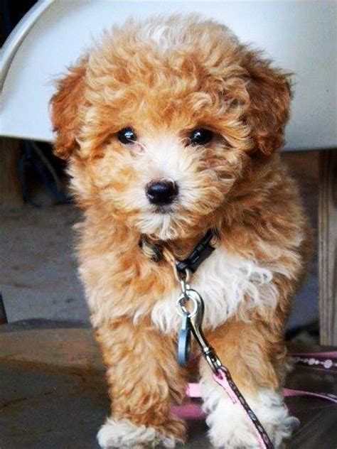 9 interesting facts about maltipoos animals zone 444 best images about maltipoo on pinterest poodles