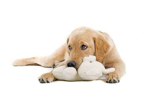 pseudopregnancy in dogs pseudopregnancy in pets