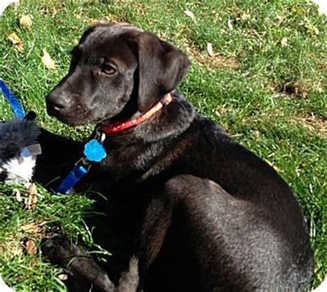 lab pointer mix puppies for sale pointer lab mix puppies puppy westport ct labrador retriever german