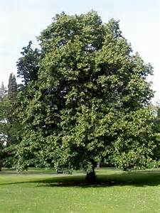 linden tree pictures photos information on linden trees