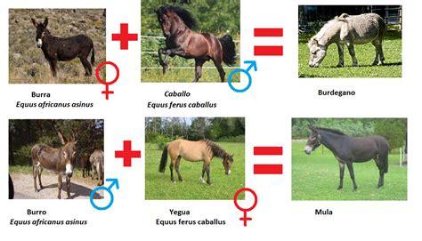 imagenes reales concepto mi blog de biologia si cruzamos caballos y asnos 191 salen