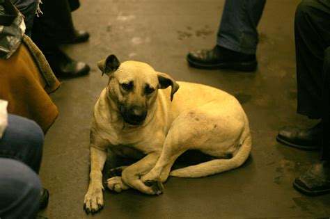when do puppies drop stray dogs in moscow use the subway really photos