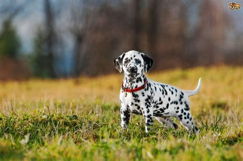 dalmatian puppies for sale ma dalmatian puppies for sale breeds picture