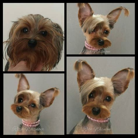 before and after pics of yorkie haircuts 164 best yorkies funny and cute photos images on pinterest