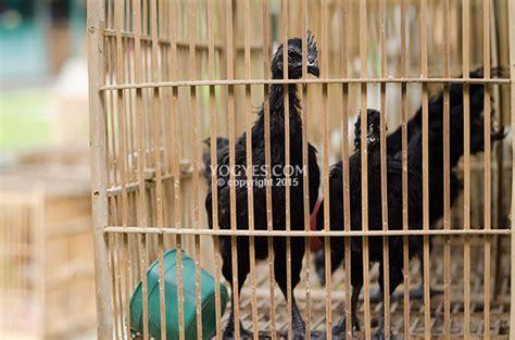 ayam cemani pasar satwa  tanaman hias yogyakarta pasty
