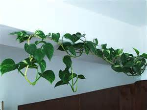indoor vine plants plant id flowers and foliage pothos florida master gardener program university of florida