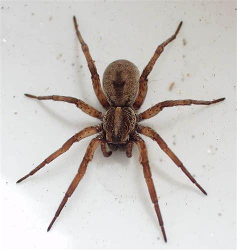 ragni di casa ragni disinfestazione ragni in casa