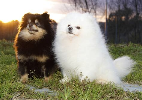 pomeranian mating colored poms pomeranian expert information authority site