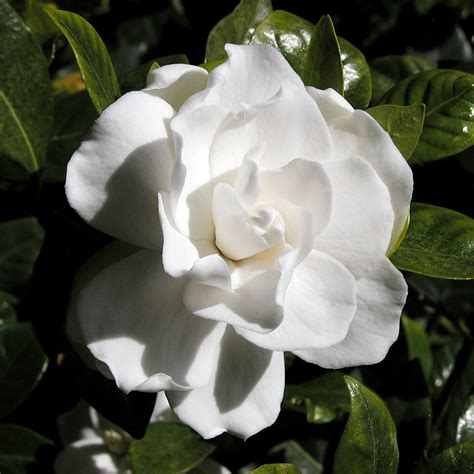 gardenia flowers gardenia pests common insect problems with gardenias