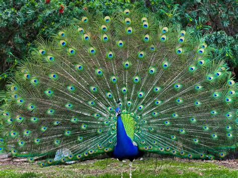 colorful bird male peacocks spread tail feathers desktop
