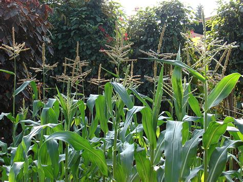 how to grow corn in your backyard tips for growing corn in a home garden parenting patch