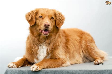 golden retriever puppies scotia scotia duck tolling retriever hereditary health and health testing pets4homes