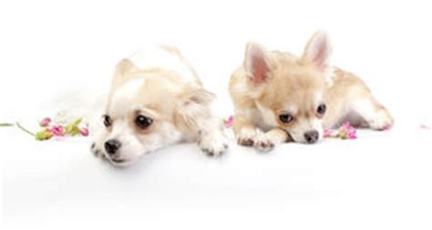 teapot pomeranian puppies puppies stock photos images pictures 240 images
