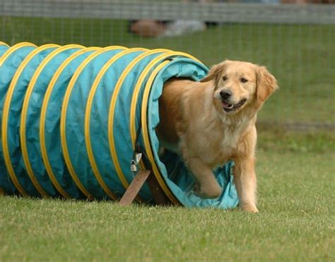 how to agility dogs agility for dogs basic tips and tricks
