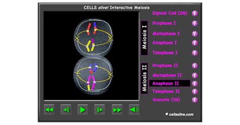 Cells Alive Mitosis Phase Worksheet Answers by Meiosis Interactive