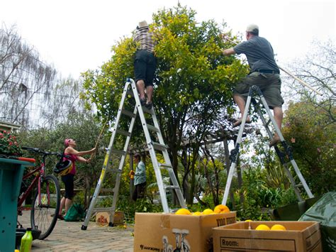 fruit tree project citrus in seabright with santa fruit tree project