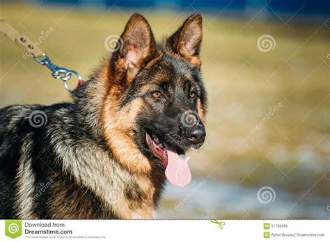 brown german shepherd puppy beautiful brown german shepherd puppy stock photo image 57789369