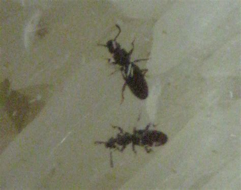 pantry beetles grain weevils spider beetles meal worms