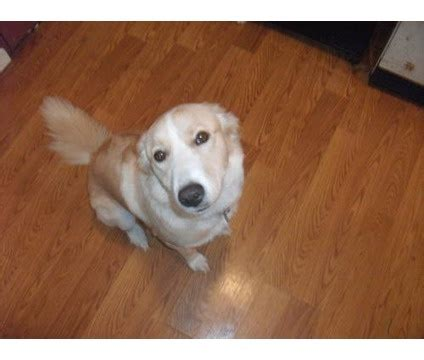 border collie golden retriever mix for sale golden retriever border collie mix 1and1 2 years is a border collie golden