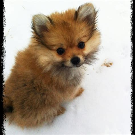 what are pomeranians like 1000 images about porkie pomeranian yorkie on