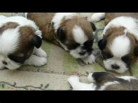 shih tzu breeders in alabama shih tzu puppies for sale n ga fl al tn sc nc atl jax birmingham tallahassee by