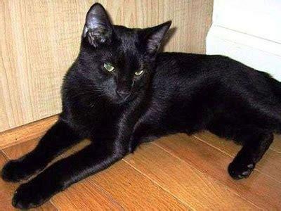 tutorial tempat tidur kucing misteri kucing hitam mitos horor kucing hitam dari