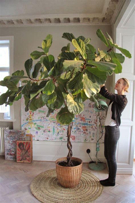 Ficus Im Schlafzimmer by 220 Ber 1 000 Ideen Zu Ficus Auf Ficus