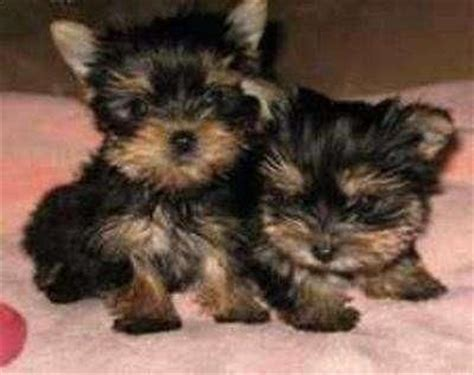 black teacup yorkie teacup yorkie black
