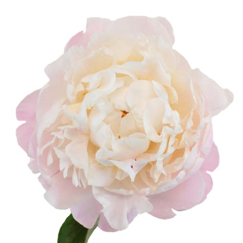 gardenia flower delivery gardenia blush peony flower november delivery