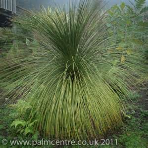 Plants For Topiary - dasylirion longissimum from palm centre