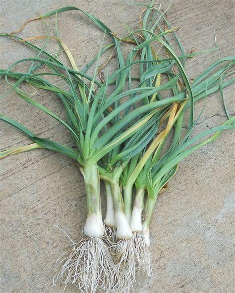 kitchen garden  kihei maui growing garlic  kihei