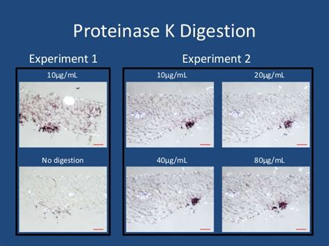 proteinase k digestion in planta detection of puccinia horiana 9