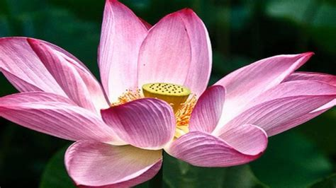 wallpaper pink lotus hd wallpaper pink lotus flowers wallpapers13 com