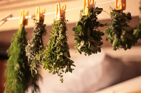 hanging herbs tip of the day drying herbs