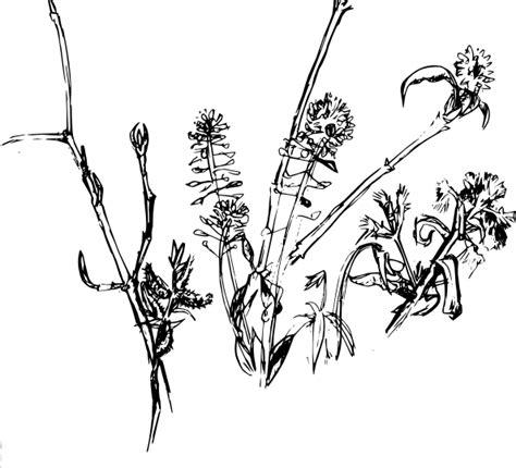 Cotton Plant Clip At Clker cotton plant drawing cliparts co