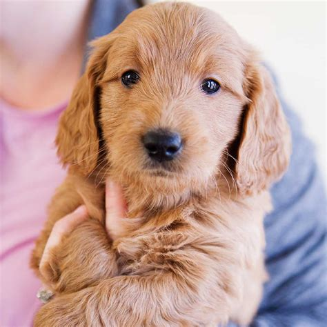 mini doodle puppies goldendoodle puppies goldendoodle mini