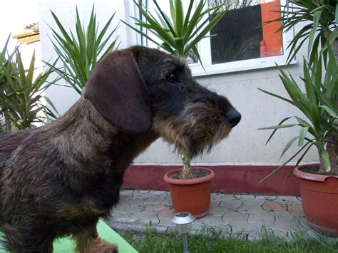 standard wire haired dachshund puppies for sale standard wirehaired dachshunds puppies manchester greater manchester pets4homes