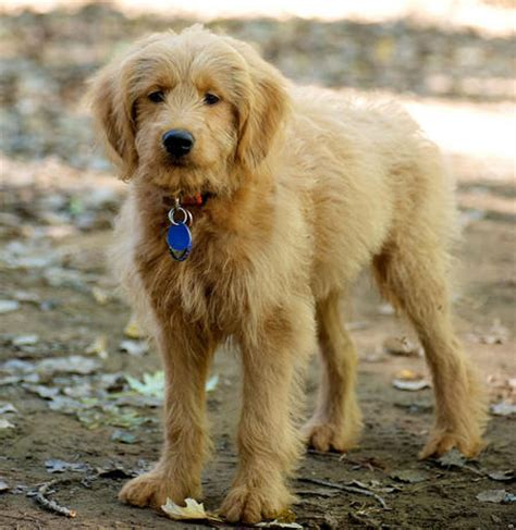 goldendoodle daily puppy barley the goldendoodle puppies daily puppy