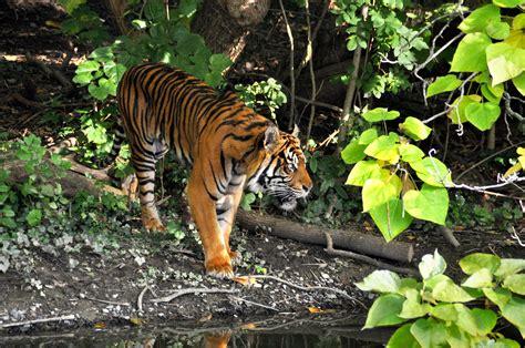 tadoba tiger reserve tiger resorts india tadoba