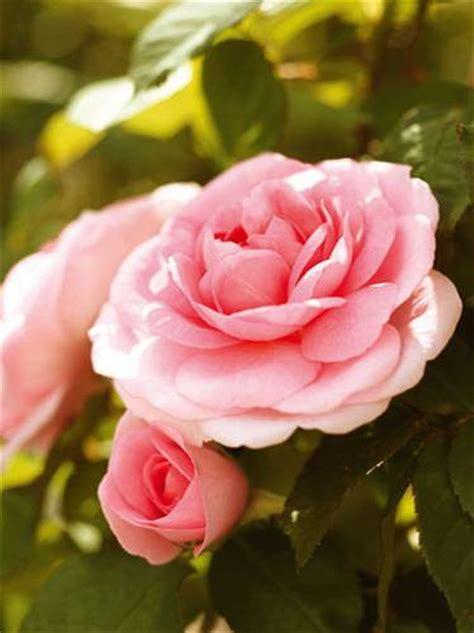 Rosa Blumen by F 252 R Balkon Und Garten Rosa Blumen Und Pflanzen Brigitte De